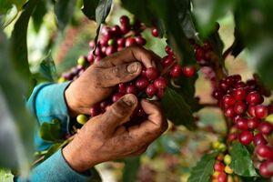 عکس/ برداشت قهوه را دیدهاید؟