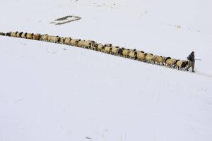 عکس/ رژه دیدنی گله گوسفندان