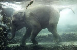 عکس/ شیرجه فیل