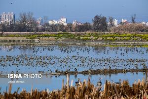 عکس/ تالاب «فریدونکنار» میزبان پرندگان