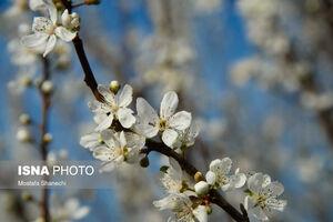 عکس/ شکوفههای درختان آلوچه