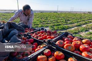 عکس/ برداشت گوجه فرنگی در بوشهر