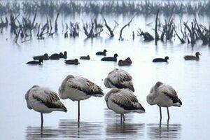 تلفشدن بیش از ۷هزار پرنده در میانکاله طی ۱۸روز