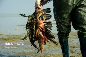 جزئیات عامل تلف شدن پرندگان مهاجر در تالاب میانکاله