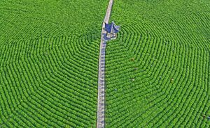 تصویر هوایی زیبا از باغ چای