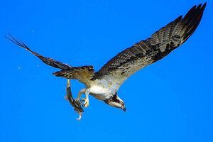عکس/ ماهیگیری به سبک عقاب