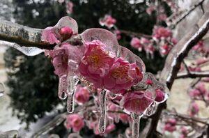 عکس/ یخ زدن شکوفههای درخت گیلاس