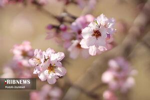 عکس/ شکوفههای بهاری در زمستان
