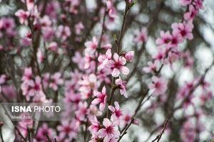 عکس/ باز شدن زود هنگام شکوفههای درختان