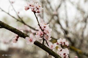 عکس/ شکوفه درختان در زمستان رشت