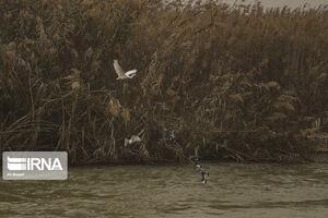 عکس/ دانهریزی برای پرندگان مهاجر در هورالعظیم