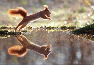 عکس/ تلاش سنجاب برای حفظ گردو