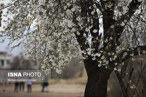 عکس/ رویش زود هنگام شکوفهها در شیراز