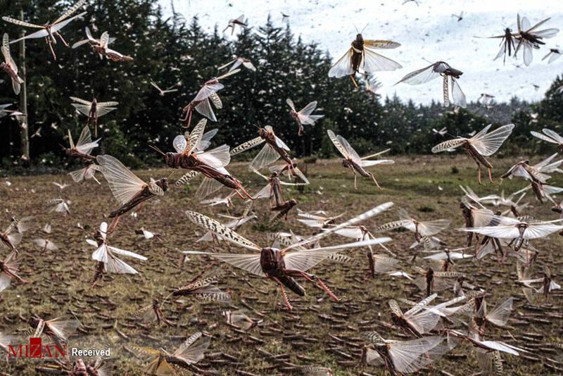 عکس/ حمله ملخها به شرق آفریقا