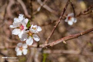 عکس/ بهار در زمستان