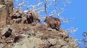 فیلم/ تصاویری زیبا از فعالیت خرسهای قهوهای در مازندران
