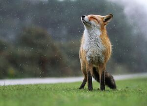 تجزیه شدن بدن روباه بعد از چند هفته! +فیلم