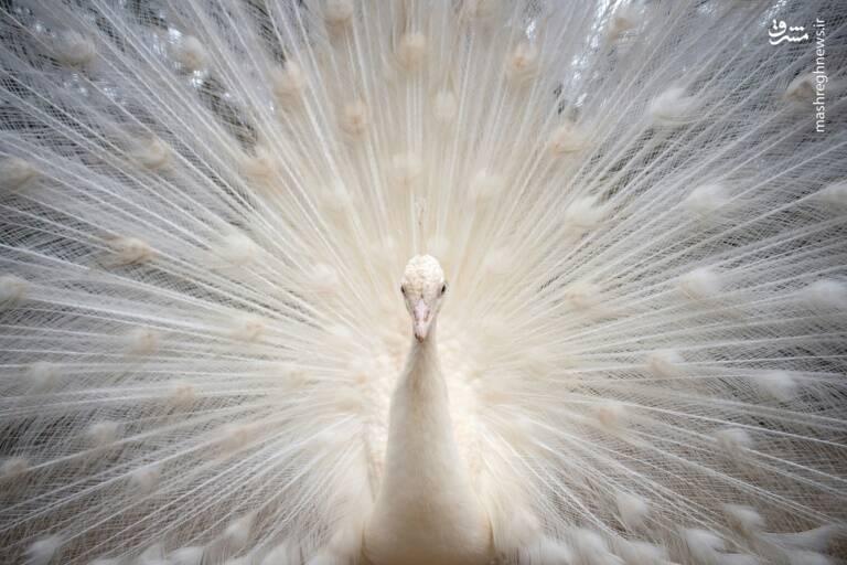 عکس/ طاووس سفید