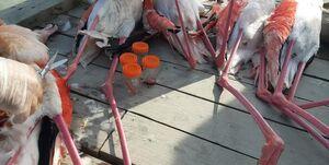 تلفشدن ۱۴هزار پرندگان در میانکاله طی ۲۵ روز