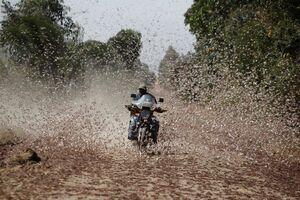 عکس/ موتورسواری در میان ملخها