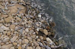 نشت مواد نفتی باعث تلف شدن ماهیها در ساحل عسلویه شد