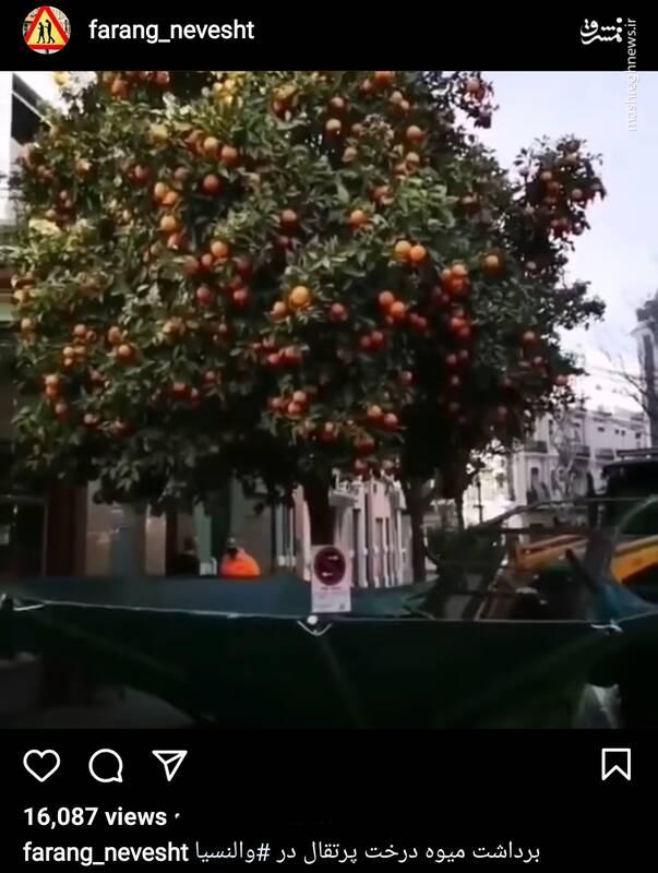 ویدئویی جالب از برداشت پرتقال در والنسیا