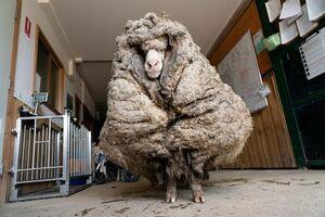 عکس/ ۳۵ کیلوگرم پشم بدن یک گوسفند