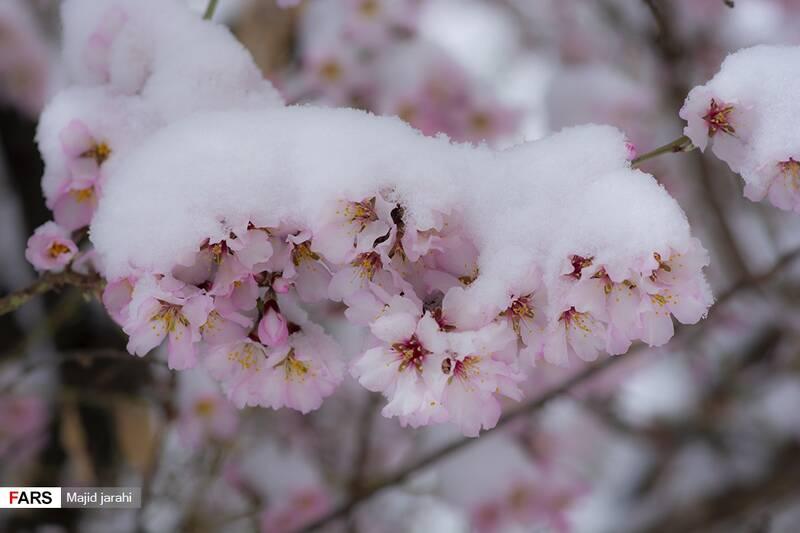 شکوفههای بهاری در زمستانی روستای دره شیرتفت