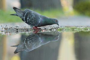 عکس/ آب خوردن جالب پرندگان