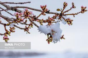 عکس/ برف و شکوفههای بادام