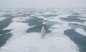 تصاویر دیدنی از خرسهای سفید قطبی