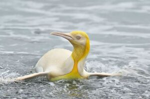 عکس/ پنگوئن طلایی دیده بودید؟