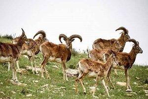 فیلم /جلوه هایی از حیات وحش منطقه حفاظت شده کیامکی - کراپشده