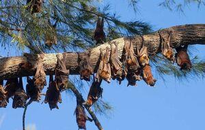 هجوم خفاشهای قرمز به استرالیا