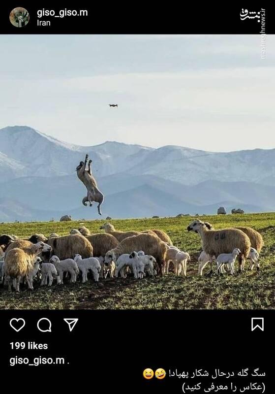سگ گله در حال شکار پهپاد +عکس