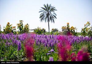 تصاویر زیبا از برداشت گل در شهرستان حمیدیه