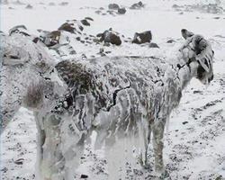 فیلم/ یخ بستن حیوانات دمای منفی ۵۱ درجه!