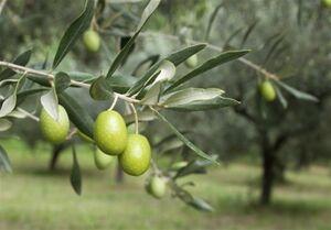 ۱۰ دلیل برای کاشت «درخت زیتون» در محیطهای شهری