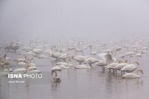 عکس/ مهمانان زیبای تالاب «سرخرود» مازندران