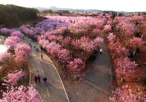 سلفی با شکوفه های بهاری در ووهان چین