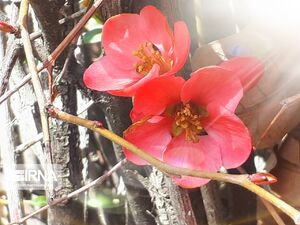 عکس/ شکوفههای بهاری درختان در بروجرد