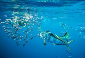 عکس/ ماهیها طعمه شکارچیان بزرگ