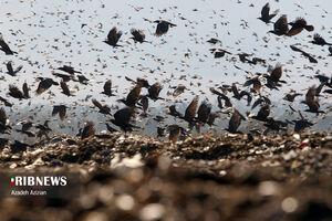 عکس/ تغذیه پرندگان از طلای کثیف