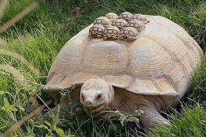 تصویری جالب از حمل فرزندان توسط لاک پشت