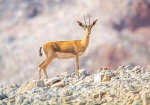 ژست آهو جبیر در مقابل دوربین +عکس