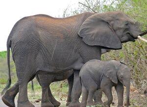 عکس/ خشم فیل مادر