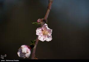عکس/ شکفتن شکوفههای بهاری