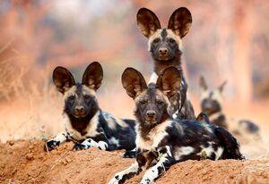 شکارچیان ماهر آفریقا