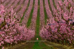 عکس/ باغ درختان هلو را ببینید