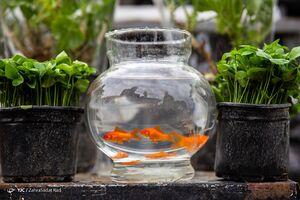 عکس/ خرید سبزه و ماهی قرمز عید